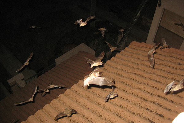 Damage Caused By Bats In The Attic Photographs