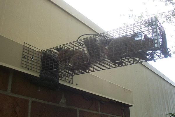 Wildlife Exclusion Using One Way Doors
