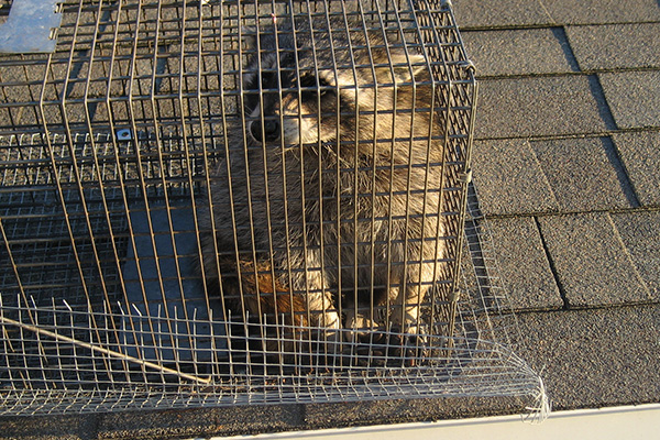 How To Kill Raccoons Does Poison Work