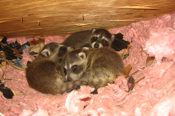 Raccoon Nest In Attic Nest Of Baby Raccoons