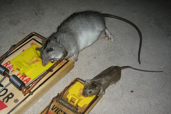 Rat Bait What Is The Best Bait To Catch Rats