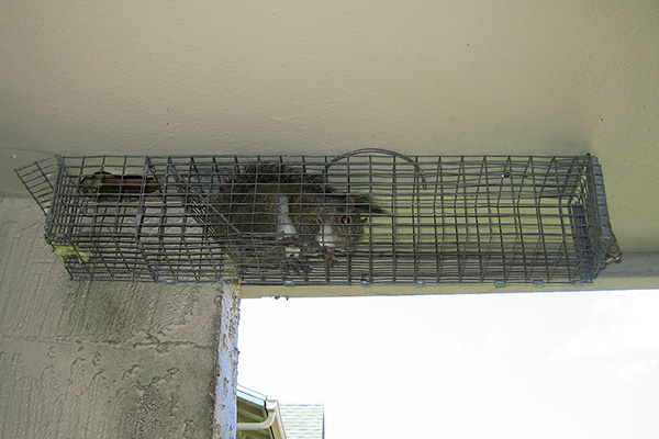 How To Trap Squirrels Squirrel Trapping Tips